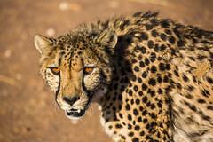 Namibian Cheetah (lucien_photography) Tags: africa travel wild nature animal animals canon southafrica african wildlife ngc safari 5d cheetah namibia afrique namib namibie markiii guépard wildifephotography canon5dmarkiii 5dmarkiii