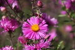 Aster flowers (vmf-214) Tags: spokane manitopark spokanewa spokanewashington joeleferrisperennialgarden asterflower spokaneparkandrecreationdepartment