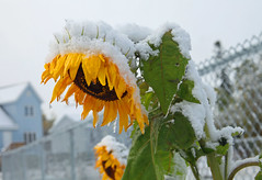 sunflower (photoluver1) Tags: flowers autumn plants snow fall nature weather yellow seasons sunflower