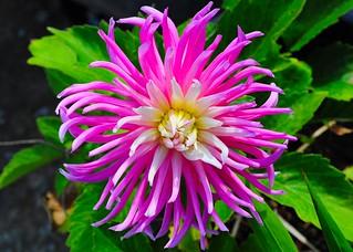 Dahlia for Thursday flower