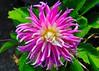 Dahlia for Thursday flower (melba173) Tags: dahlia flower thursdayflower ©allrightsreserved