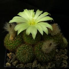 Frailea magnifica '10008' (Pequenos Electrodomésticos) Tags: cactus flower flor seedling cacto frailea sementeira fraileamagnifica