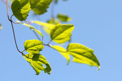 Still Green (gripspix (OFF)) Tags: blue sky green leaves herbst himmel blau bltter autumnseries 20141004