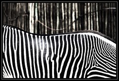 Blending in... (Light_Rider) Tags: white black stripes camouflage zebra shiningstar nationalgeographic blending blueribbonwinner aplusphoto bratanesque allkindsofbeauty qualitypixels