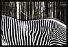 Blending in... (Light_Rider) Tags: white black stripes camouflage zebra shiningstar nationalgeographic blending blueribbonwinner aplusphoto bratanesque allkindsofbeauty qualitypixels