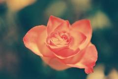 (skwissgaarrr) Tags: flowers flower color colour macro slr film rose analog 35mm lens photography 50mm asahi pentax k1000 kodak cell iso filter 400 analogue manual smc ultramax
