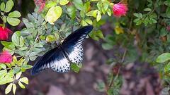 Blue Mormon (Papilio polymnestor) (nbu2014.birds) Tags: india butterfly westbengal siliguri bluemormon papiliopolymnestor northbengaluniversity nbu2012