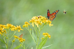 Summer's Curtain Call (Sarah Hina) Tags: flowers yellow butterfly bees monarch