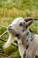Goat Goatee (SKAC32) Tags: zoo goatee goat devon sparkwell swengland dartmoorzoologicalpark