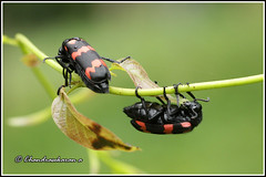 4533 - blister beetles (chandrasekaran a 30 lakhs views Thanks to all) Tags: india macro nature beetle chennai tamron90mm canon60d blisterbeelte