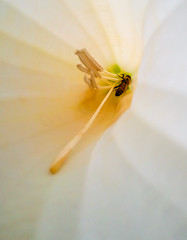 inside brugmansia-3 (otgpics) Tags: white flower tree green lines yellow golden petals goal samsung style s galaxy stamen tropical huge nectar worker pollen stigma corolla collecting filament channels searching apis anther buzzing oriented robbing melifera datureae