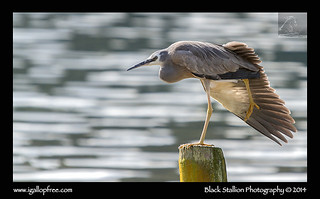 White-faced Heron 04