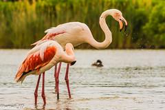 _DSC6717 (Elisabetta - Bettadi) Tags: park wild parco nature beautiful animals de reserve flamingos natura e di pont parc cavalli immense wildhorses allo camargue stato unspoiled gau fenicotteri bellissimo brado selvaggia immenso incontaminata natureiswonderful naturaeanimali camargueriservanaturalepont