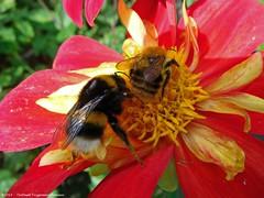 Dahlia Show (2) - in Eerde / Brabant (dietmut) Tags: dahlia flowers animals insect nederland thenetherlands september dieren brabant bloemen 2014 eerde panasoniclumix dmcfx500 dietmut roodredrot yourfavorites102