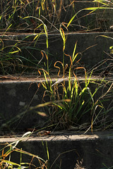 Steps Of Enlightment (gripspix (OFF)) Tags: plant nature grass stairs concrete natur pflanze treppe gras backlit beton gegenlicht 20140925