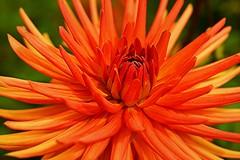 LES DAHLIAS, SOLEIL DE NOS JARDINS (Gilles Poyet photographies) Tags: dahlia fleur soe auvergne puydedôme autofocus royat aplusphoto parcbargoin artofimages rememberthatmomentlevel1 rememberthatmomentlevel2 rememberthatmomentlevel3
