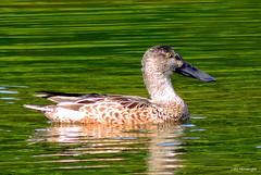 Northern Shoveler Female (Lois McNaught) Tags: autumn reflection bird nature duck wildlife northern shoveler avian
