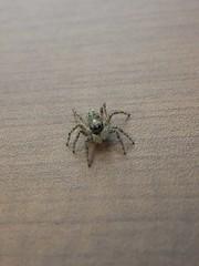 Tekla (Patataasada) Tags: bug spider araña bicho tekla saltícido arácnido artrópodo arañasaltadora