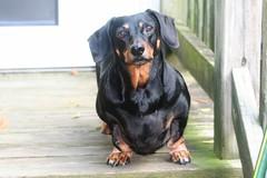 dachshund jimmydean