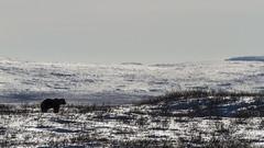 King of the Arctic land-6114 (Mathieu Dumond) Tags: bear canada fall mammal october wildlife arctic grizzly nunavut animalplanet ursus carnivore kugluktuk kitikmeot