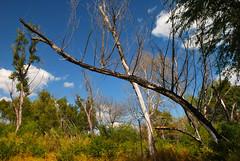 Leaning Dead Tree (tommyr68) Tags: trees tree oklahoma nature nikon d60 keystonelake nikond60 mannford
