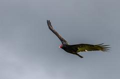 turkey vulture (A Taylormade View) Tags: bird turkey wildlife vulture turkeyvulture