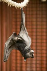 IMG_9410 (Tidwell Family) Tags: flying fox flyingfox