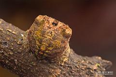 Broad-headed bark spider (Caerostris sp.) - DSC_4484 (nickybay) Tags: macro mandaitrack7 araneidae caerostris orb web spider bigheaded bark singapore broadheaded