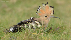 Hoopoe (KHR Images) Tags: wild bird nature nikon wildlife bedfordshire crest upupaepops hoopoe migrant willington d7100 8004000mmf4556 kevinrobson khrimages