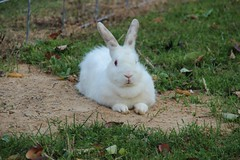 """White Bunny • <a style=""""font-size:0.8em;"""" href=""""http://www.flickr.com/photos/72892197@N03/15458119791/"""" target=""""_blank"""">View on Flickr</a>"""