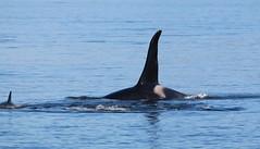 Male Orca fin (jpotto) Tags: canada vancouverisland whales orca killerwhale britishcolombia cetaceans johnstonestrait