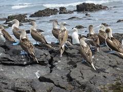 Galápagos - Isabela-116