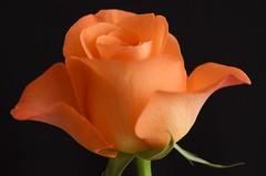 Rose, orange, macro (Sarah Anne Mac) Tags: macro floral flora orangerose flowerphotography flowersarebeautiful exquisiteflowers faunaandfloraoftheworld
