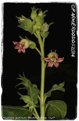 Nicotiana glutinosa BK08612.1 'K'ama Sayri' (farmer dodds) Tags: tobacco nicotiana nicotianaglutinosa k'amasayri nicotianaglutinosabk086121