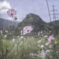 ------コスモス----- (☆SANGANO☆) Tags: texture 秋 cosmos ドライブ 休日 コスモス
