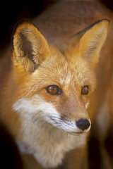 Red Fox (Cruzin Canines Photography) Tags: portrait animal canon zoo wildlife calm fox califorina redfox