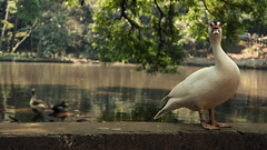 passarinho (Daltu) Tags: life bird nature rural duck saopaulo natureza paulo sao