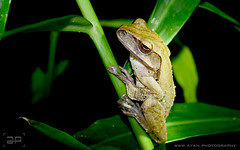 Four-lined Tree Frog (Ayan.Photography) Tags: ginger wildlife frog treefrog greatphotographers commontreefrog fourlinedfrog