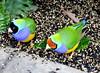 Gouldian Finches, Chloebia gouldiae (6) (Herman Giethoorn) Tags: gouldian finch songbird bird