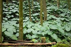 姑婆芋 (momodie81) Tags: 新竹 台灣 綠光 馬武督 關西 森林 探索 樹木 植物