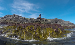 Fatty (Snirk) Tags: seal underwater gopro montague island seals narooma snorkelling animal