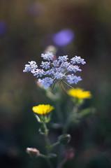 wildflowers (ΞSSΞ®®Ξ) Tags: ξssξ®®ξ pentax k5 summer 2016 field flower lazio italy flowers smcpentaxm50mmf17 dof depthoffield bokeh queenanneslace