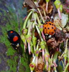 Signs of Spring (Gaz-zee-boh) Tags: harlequin harlequinladybird ladybird nature london n7 londonnature strawberrytree nikon d7k 300mm