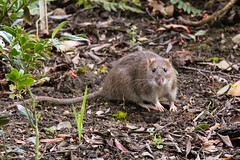 Brown rat (Rattus norvegicus) looking at camera (Ian Redding) Tags: british european hanoverrat norwayrat norwegian norwegianrat rattusnorvegicus somerset uk animals brownrat common commonrat cute eyes foraging garden headon mammals nature orwharfrat park pretty rat rodent rodentia sewerrat street streetrat sweet vermin wildlife