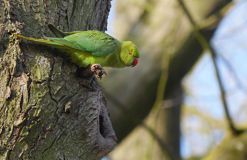 Ring-necked parakeet (Psittacla krameri), Parc de Woluwé, Brussels