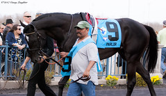 Preparing (Casey Laughter) Tags: racehorse turfway thoroughbred horse horseracing horses winner loser fun racing racetrack race track saddlecloth tack gate taa