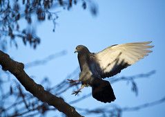"Pigeon and blue sky (Vidar ""the Viking"" Ringstad, Norway) Tags: winter cold sun sunshine twigs pigeon inflight landing sky action bluesky feather bird wildbird nature naturepic natureshot canoneos5dmkiii frognerparken oslo norge norway norwegen"