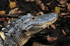 Alligator Closeup (Jan Nagalski) Tags: animal reptile alligator gator predator apexhunter apexpredator swamp green black nature wildlife florida jannagalski jannagal corkscrewswampsanctuary southwestflorida closeup