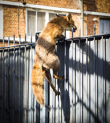 Bermondsey Fox (London Less Travelled) Tags: london bermondsey climbing fox urbanfox southwark suburban