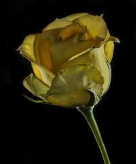 Back Lit Yellow Rose (Bill Gracey 15 Million Views) Tags: backlit backlighting offcameraflash yongnuorf603n yongnuo roguegrid rosa rose glowing glow softbox yellow garden homestudio tabletopphotography blackbackground macrolens